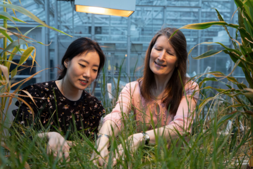 Graduate student Soyeon Choi and professor Katrien Devos working with Pearl millet, a type of grass, in the greenhouse.